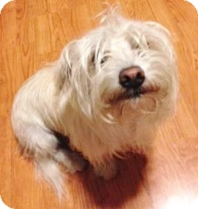 Maltese/Poodle (Miniature) Mix Dog for adoption in Irvine, California - Lady (courtesy listing)
