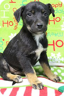 Beagle/Boxer Mix Puppy for adoption in Hagerstown, Maryland - Steele