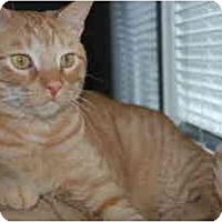 Adopt A Pet :: Pumpkin - Arlington, VA