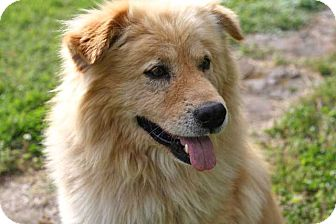 Golden Retriever Mix Dog for adoption in Salem, New Hampshire - FENWAY