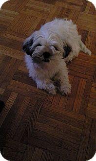 Shih Tzu/Poodle (Miniature) Mix Puppy for adoption in Toronto, Ontario - Yana