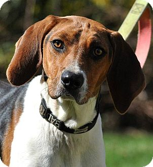 Treeing Walker Coonhound Mix Dog for adoption in Lisbon, Ohio - Dolly