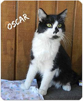 Domestic Longhair Cat for adoption in Lawrenceburg, Tennessee - Oscar