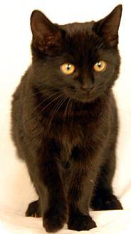 Domestic Shorthair Kitten for adoption in Newland, North Carolina - Hot Stuff