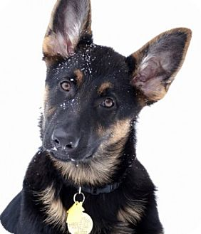 German Shepherd Dog Dog for adoption in Wayland, Massachusetts - Kyah