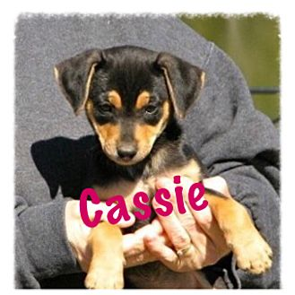 Dachshund/Beagle Mix Puppy for adoption in Westwood, New Jersey - Cassie