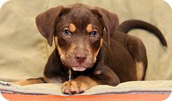 Rottweiler/Retriever (Unknown Type) Mix Puppy for adoption in Smithfield, North Carolina - Jessie