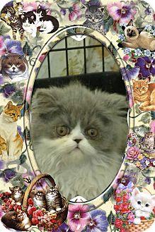 Persian Kitten for adoption in Pueblo West, Colorado - Analisa