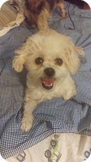 Poodle (Miniature)/Shih Tzu Mix Dog for adoption in Hollywood, California - Polly