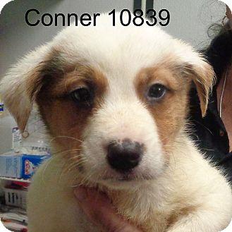 Border Collie Mix Puppy for adoption in Manassas, Virginia - Conner