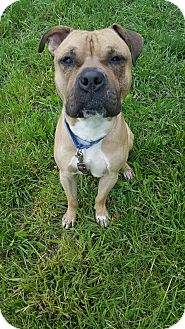 American Pit Bull Terrier Mix Dog for adoption in South Park, Pennsylvania - Georgie