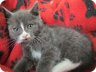 Domestic Shorthair Kitten for adoption in Erwin, Tennessee - Oak