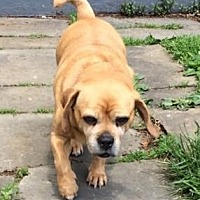 Pug/Beagle Mix Dog for adoption in Wooster, Ohio - Lily
