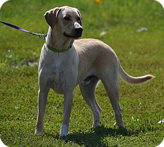 Labrador Retriever Dog for adoption in Lebanon, Missouri - Marley