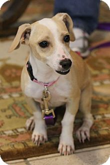 Dachshund/Chihuahua Mix Dog for adoption in Cat Spring, Texas - Ivy