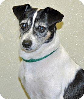 Rat Terrier Dog for adoption in Port Washington, New York - Spencer