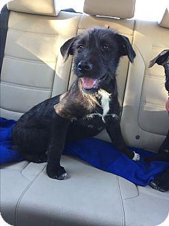 Giant Schnauzer Mix Puppy for adoption in Studio City, California - Sequoia