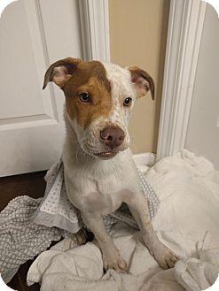 Bulldog/Boxer Mix Puppy for adoption in Nashville, Tennessee - NUBBINS