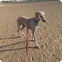 Adopt A Pet :: Suzie Willa - Manhattan, NY
