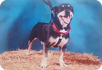 Rat Terrier Mix Dog for adoption in Port Huron, Michigan - Jack