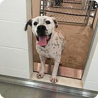 Adopt A Pet :: Lucky - Kirby, TX