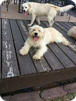 Shih Tzu/Terrier (Unknown Type, Medium) Mix Dog for adoption in East Hartford, Connecticut - Grace-pending adoption