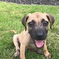 Shepherd (Unknown Type)/Pit Bull Terrier Mix Puppy for adoption in Marietta, Georgia - Huck