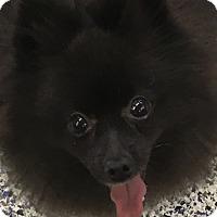 Adopt A Pet :: Gigi - Washington, PA