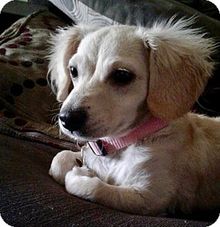 Dachshund/Spaniel (Unknown Type) Mix Puppy for adoption in Lancaster, California - Pansy