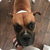 Adopt A Pet :: Serrat - Austin, TX