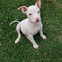 Adopt A Pet :: Kiwi - ADOPTION PENDING - Garden City, MI