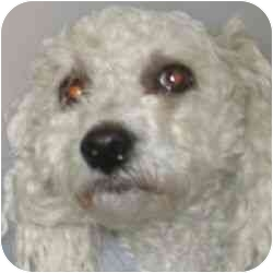 Poodle (Miniature) Mix Dog for adoption in Berkeley, California - Buffy