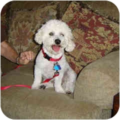 Bichon Frise Mix Dog for adoption in La Costa, California - Riley