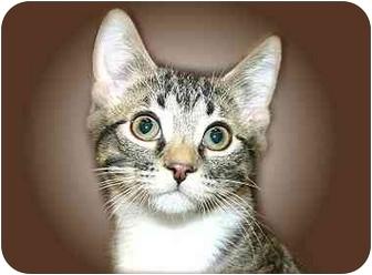 Domestic Shorthair Kitten for adoption in Montgomery, Illinois - Decker