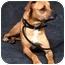 Photo 4 - Boxer/Mastiff Mix Dog for adoption in Osseo, Minnesota - Max