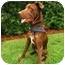 Photo 3 - Labrador Retriever Mix Dog for adoption in Houston, Texas - Bentley