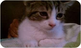 American Shorthair Kitten for adoption in New Egypt, New Jersey - Dobby
