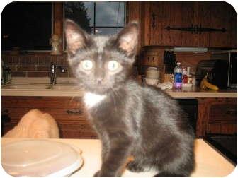 Domestic Shorthair Kitten for adoption in Acme, Pennsylvania - Marissa