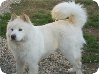 Samoyed/Chow Chow Mix Dog for adoption in Sacramento, California - Jaz