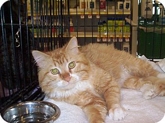 Domestic Longhair Cat for adoption in Pinehurst, North Carolina - Sebastian