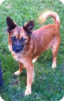 Spitz (Unknown Type, Medium)/Keeshond Mix Dog for adoption in El Cajon, California - SADIE