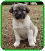 Bearded Collie/Labrador Retriever Mix Puppy for adoption in Hagerstown, Maryland - Lioness