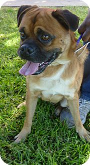 Pug/Boxer Mix Dog for adoption in Santa Monica, California - Luca
