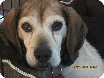 Beagle Dog for adoption in Cincinnati, Ohio - BeeJay: Hyde Park