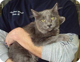 American Shorthair Cat for adoption in Mt. Vernon, Illinois - Critter