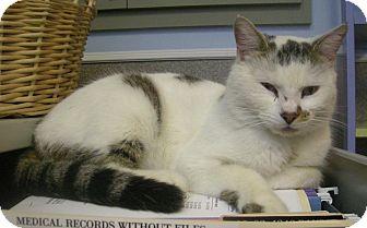 Domestic Shorthair Cat for adoption in Virginia Beach, Virginia - Sherwood