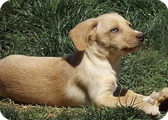 Corgi Mix Puppy for adoption in Phoenix, Arizona - Pickles