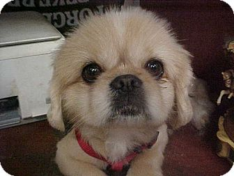 Pekingese Dog for adoption in Cathedral City, California - E I L Y