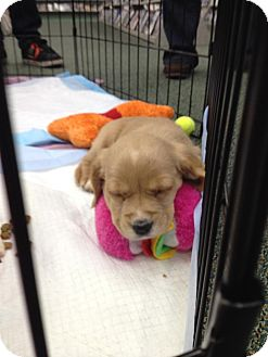 Cocker Spaniel/Golden Retriever Mix Puppy for adoption in Youngstown, Ohio - Caramel ~ Adoption Pending