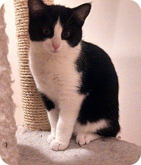 Domestic Shorthair Kitten for adoption in Horsham, Pennsylvania - Molly